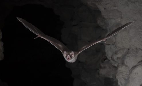 Vampire bats are the only vertebrates today that live off blood (Photo: Brock Fenton)