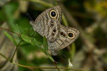 To sommerfugle i naturen.
