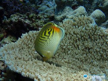 En sommerfuglefisk, der er igang med at spise alger fra et koralrev.