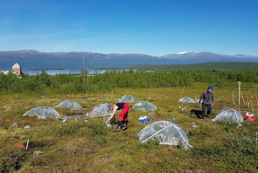Tao Li and PhD student Jolanta Rieksta conducting field work in Abisko, Sweden, to assess how climate warming and insect feeding affect plant volatile release from Arctic plants. (Photo: Riikka Rinnan)