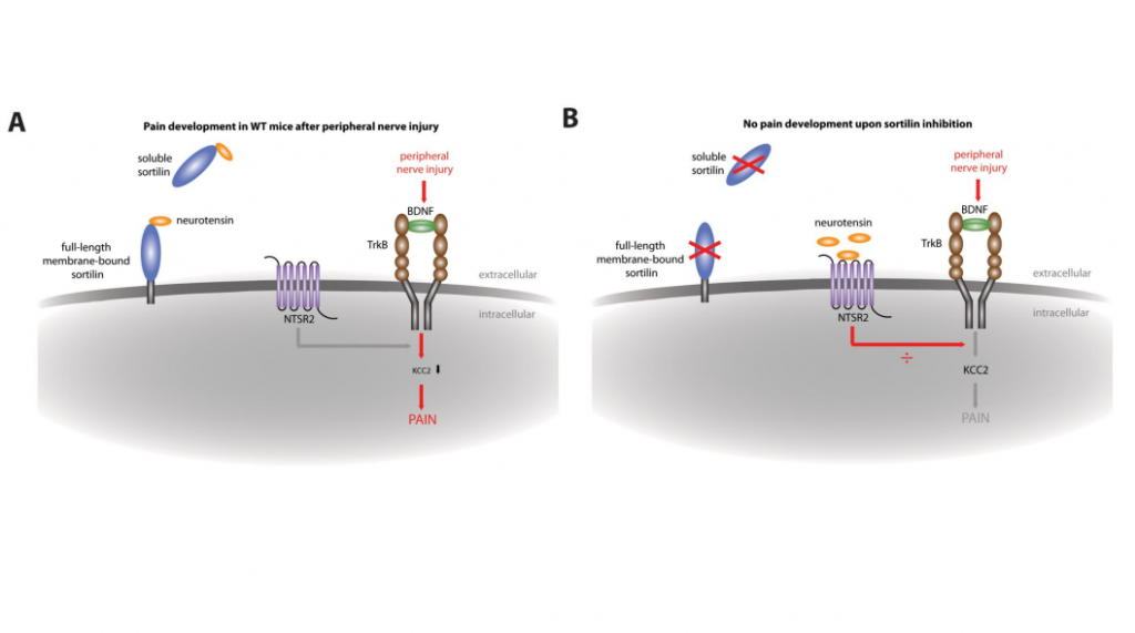 Sortilin gates neurotensin and BDNF signalling to control peripheral neuropathic pain'