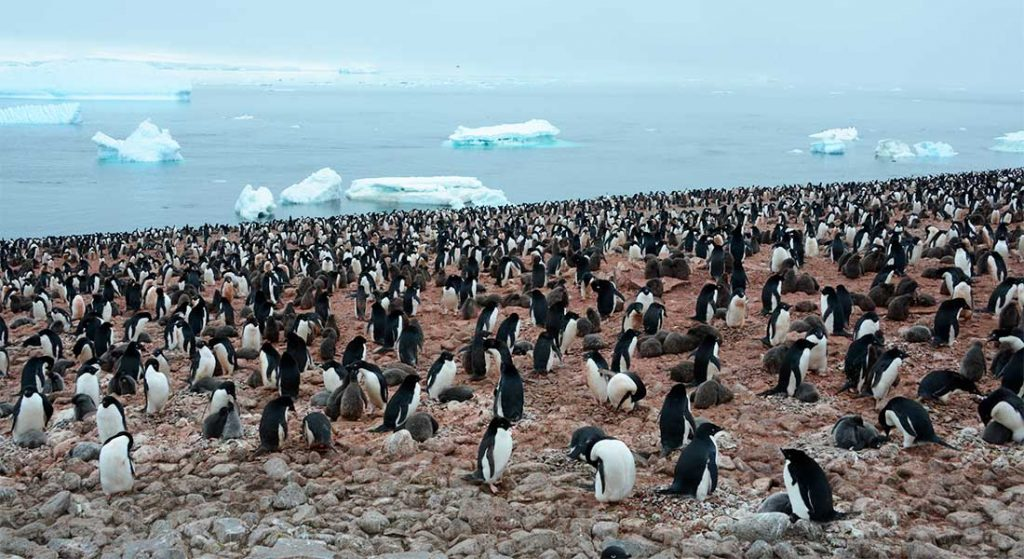 The image comes from CENPERM's research on the sub-Antarctic island of South Georgia, where king penguins live in massive colonies.