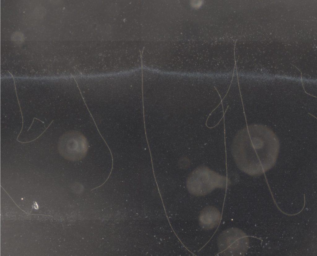 Kabelbakterier, der rækker den ene ende af bakterien ud efter ilt.