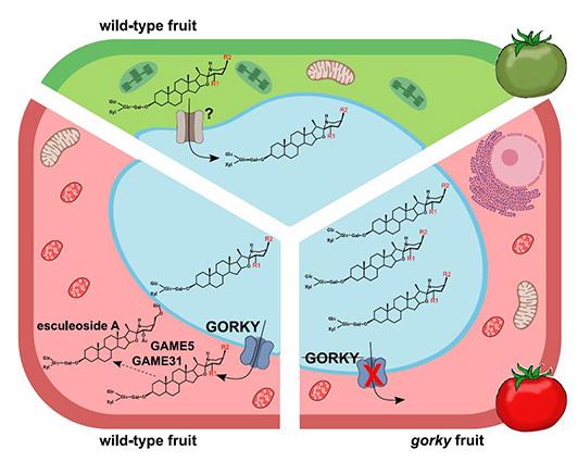 Illustration, der viser sammenhængen mellem transportproteinet GORKY og tomatens smag.